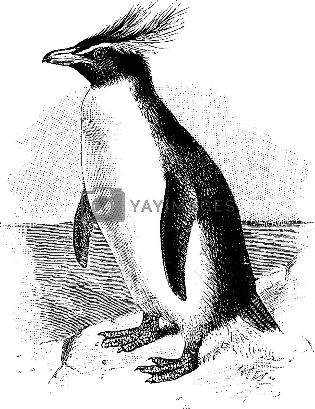 Southern Rockhopper Penguin, vintage illustration. by Morphart