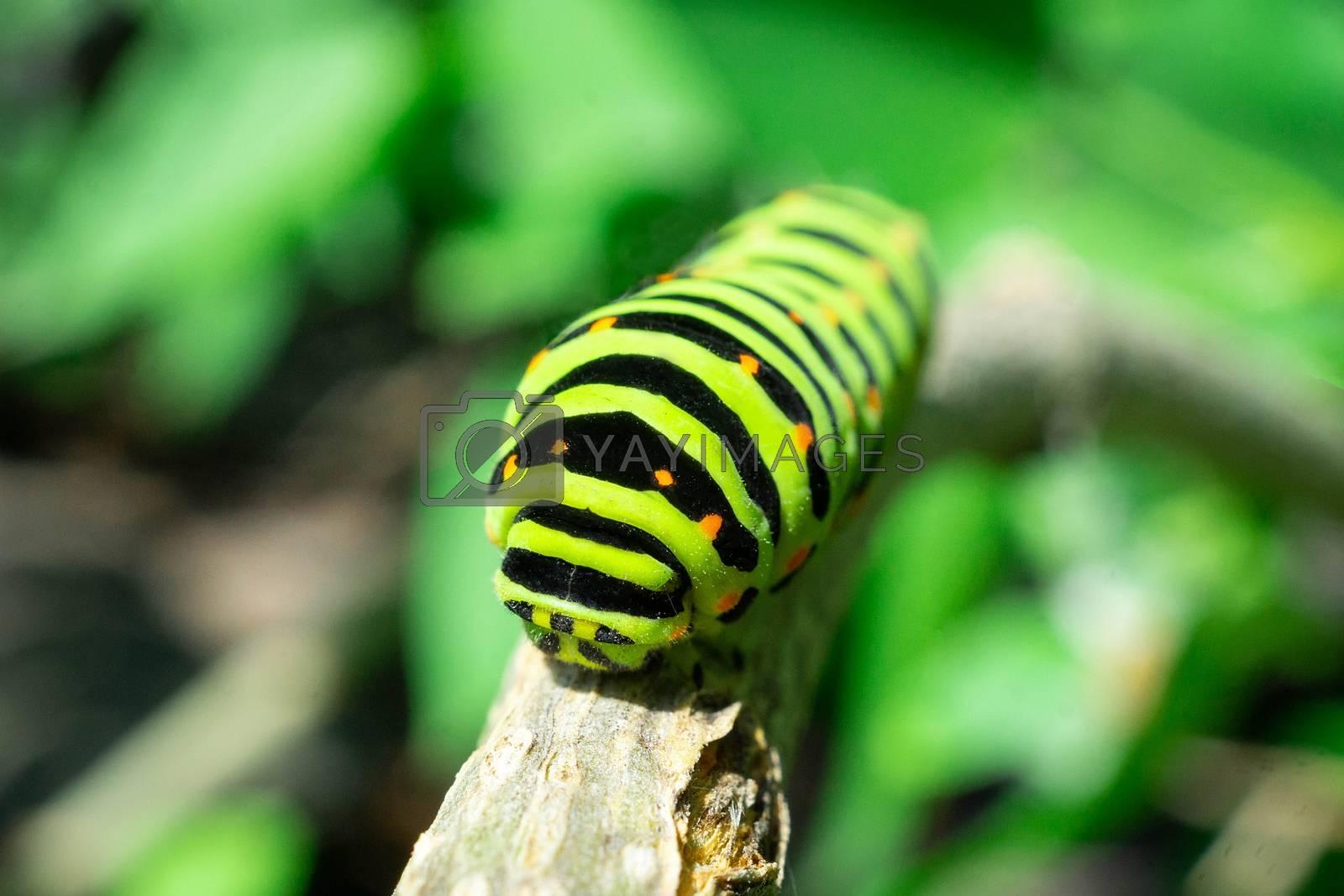 Green caterpillar on lilac leaf, caterpillar in nature