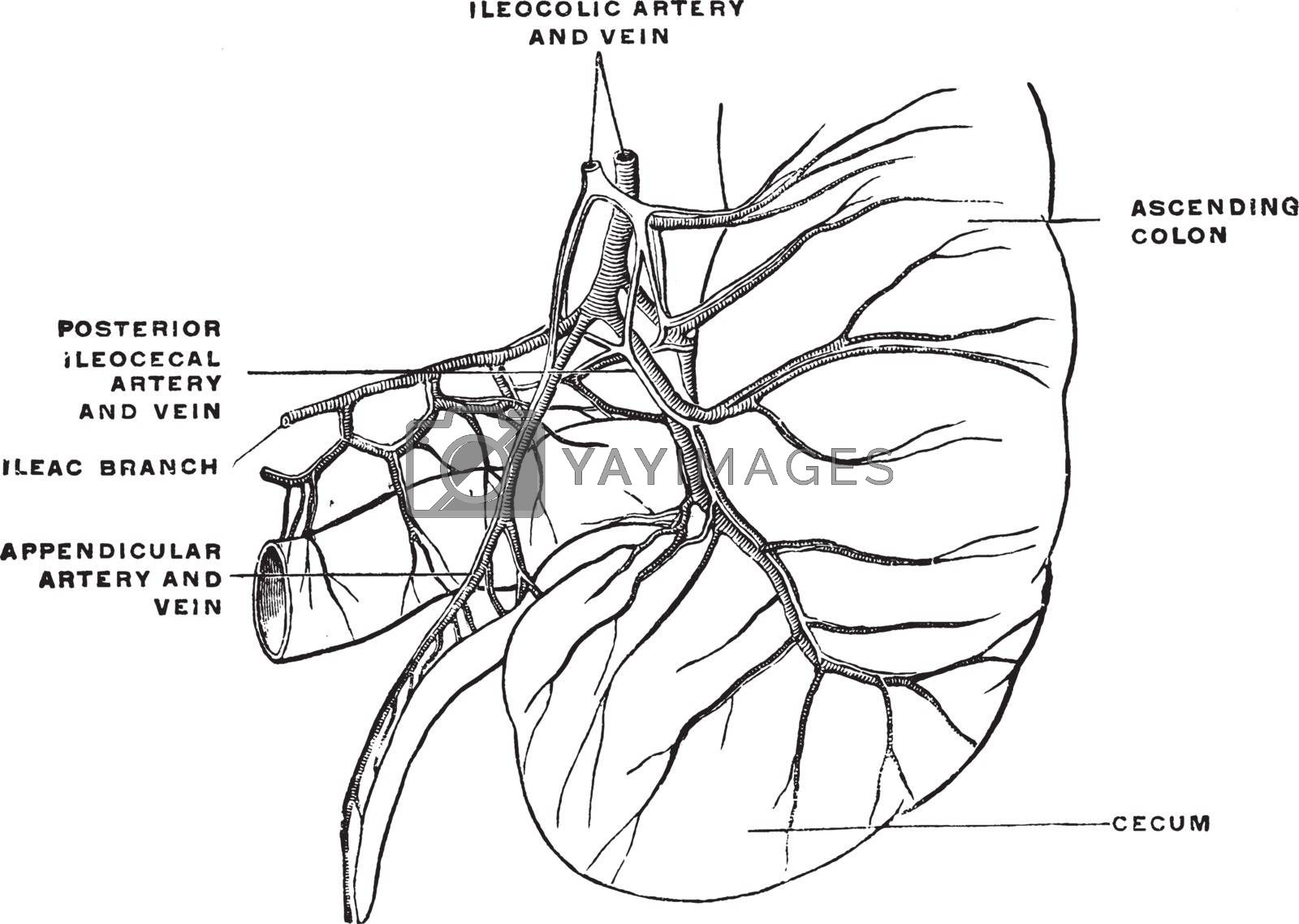 Arteries and Veins of the Cecum and Appendix, vintage illustrati by Morphart