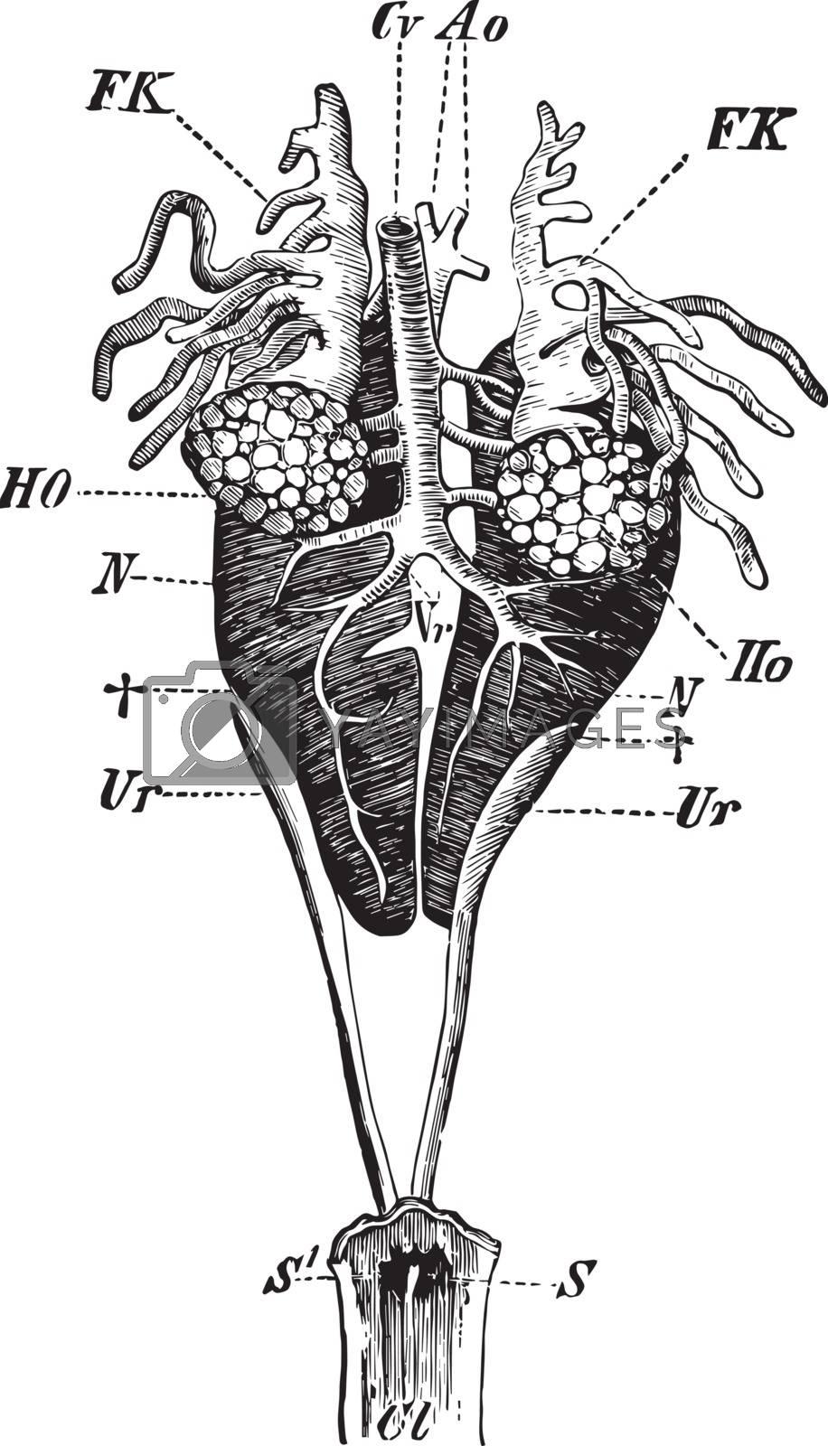 Male Edible Frog Genital Organs, vintage illustration by Morphart