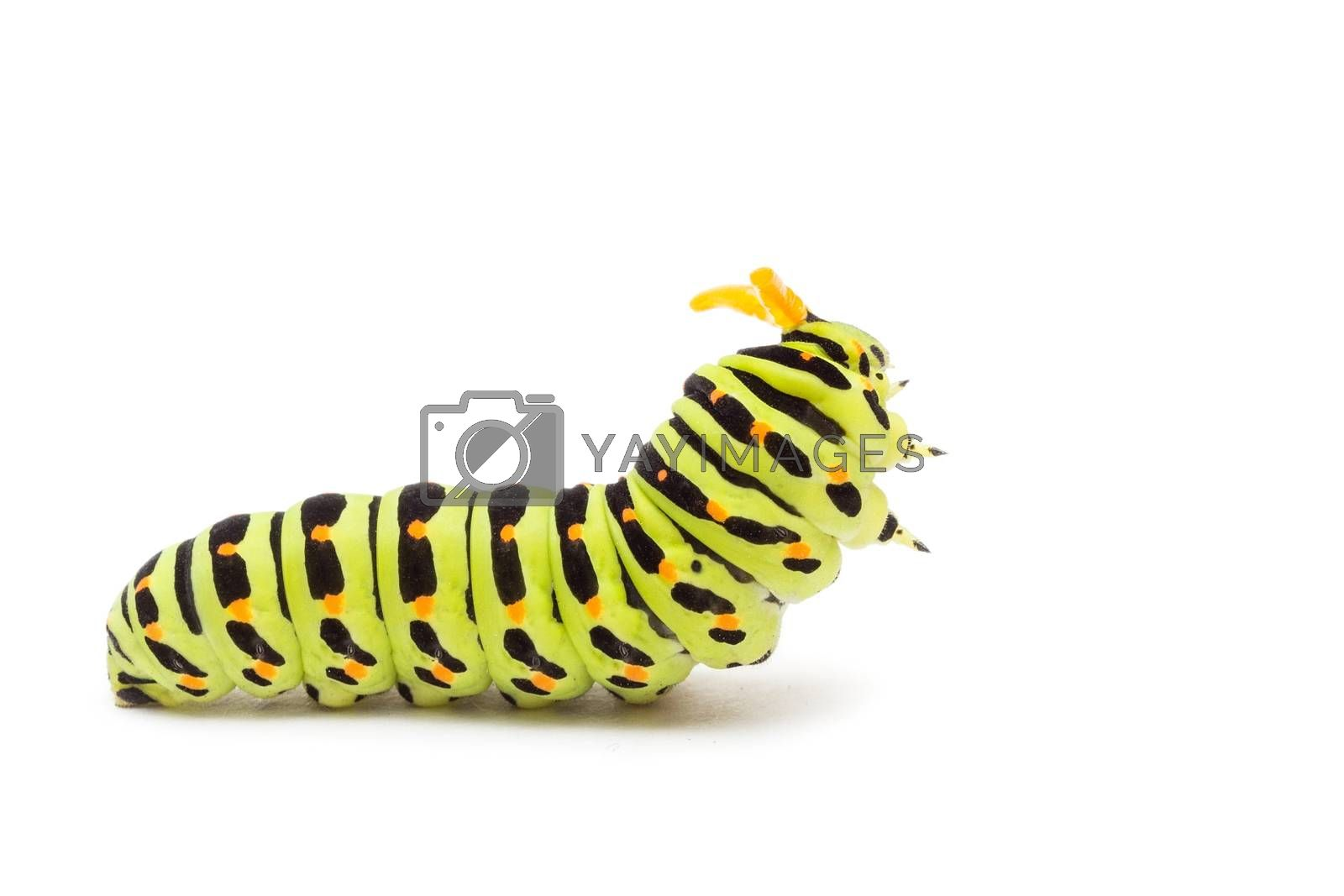 Swallowtail caterpillar or Papilio Machaon on a white background