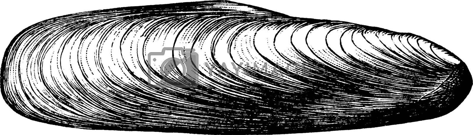 Date Shell, vintage illustration. by Morphart