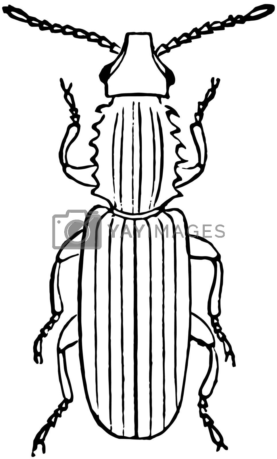 Saw Toothed Grain Beetle, vintage illustration. by Morphart