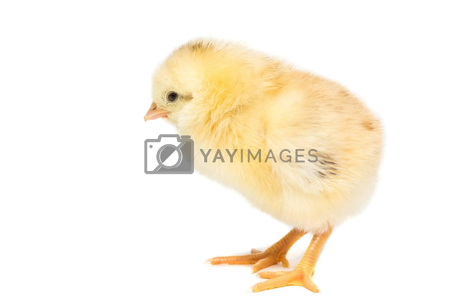 Chicken on white background by AlexBush