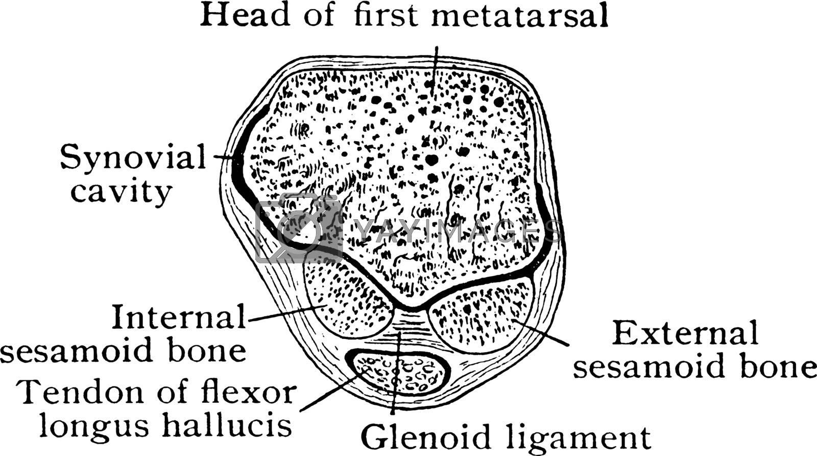Transverse Section Through Metatarsal, vintage illustration. by Morphart