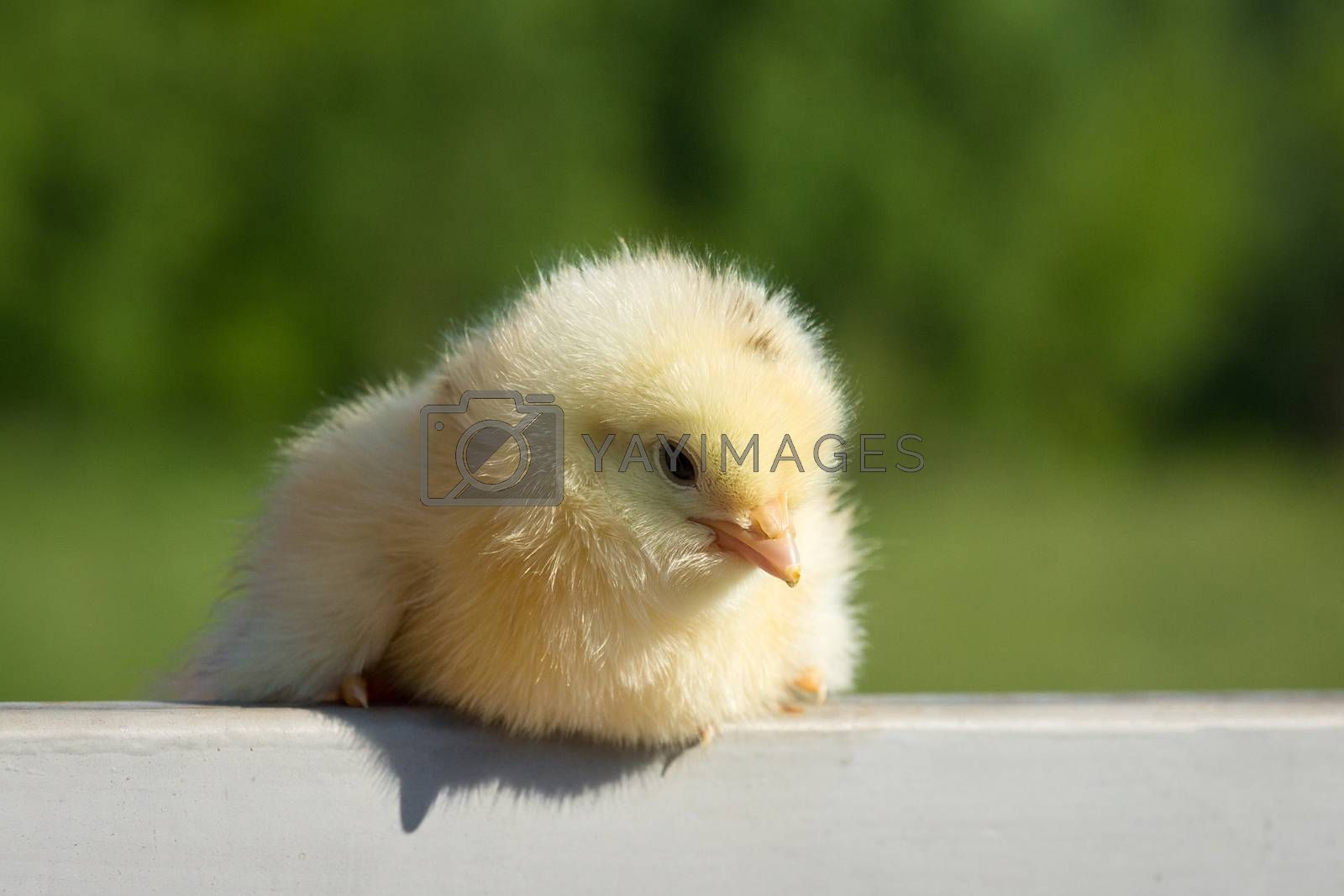 A small yellow chicken on the fence