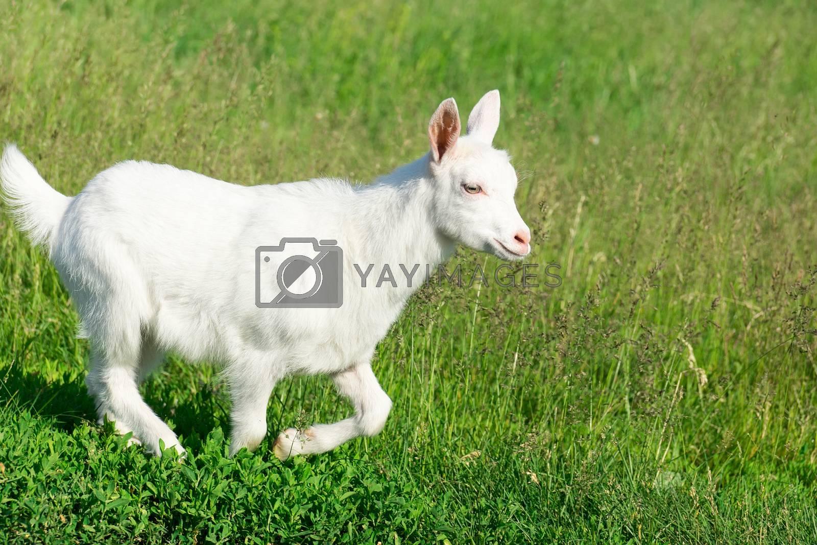 goat in a field of wheat by AlexBush