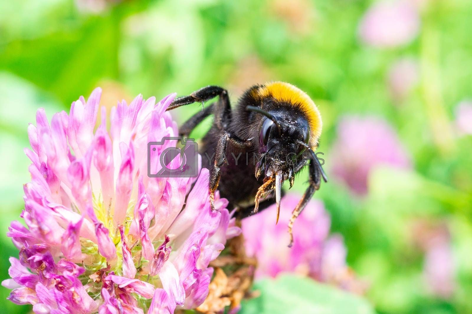 A bumblebee gathers pollen on a red flower, a bumblebee on a clover