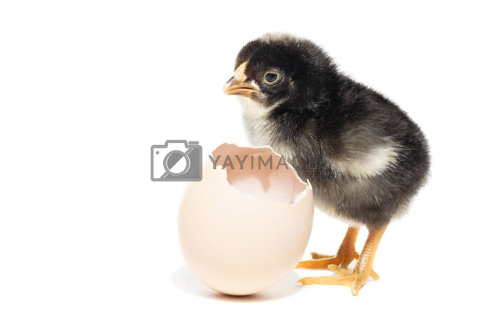 Chicken hatched from the shell, yellow chicken, village, summer