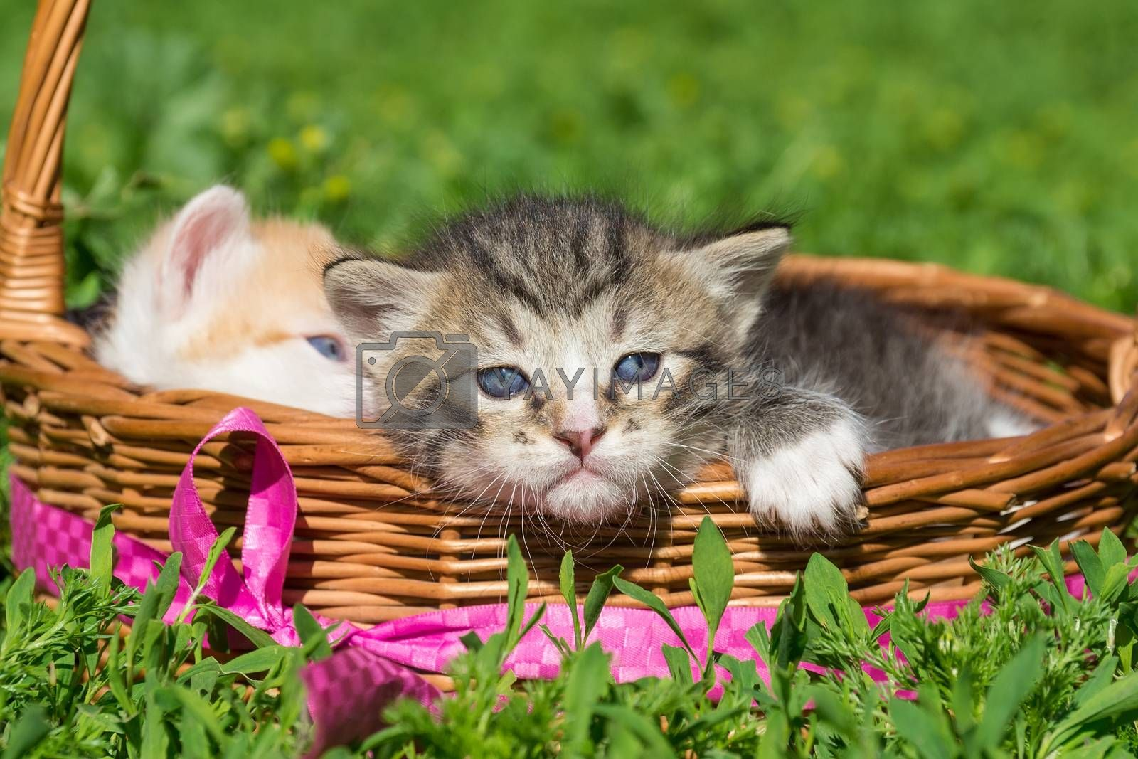 A small gray kitten is sitting in a basket