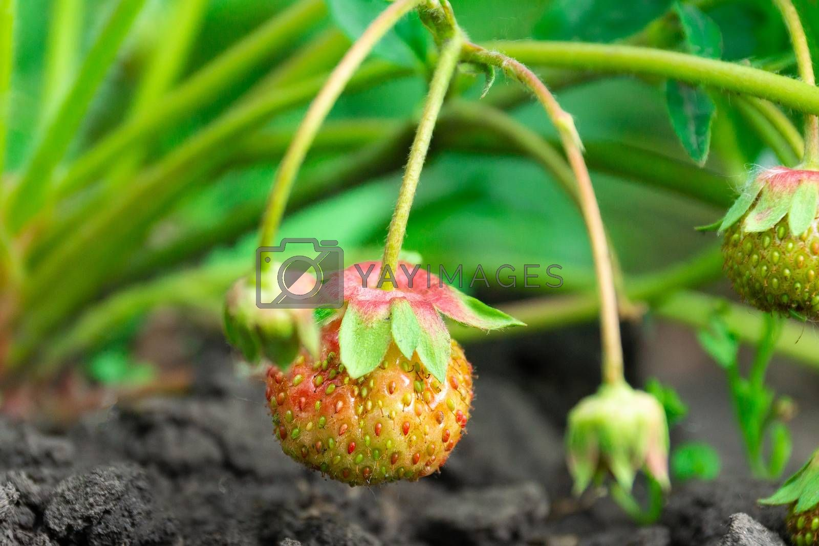 watering a strawberry bush on a vegetable garden from a watering can