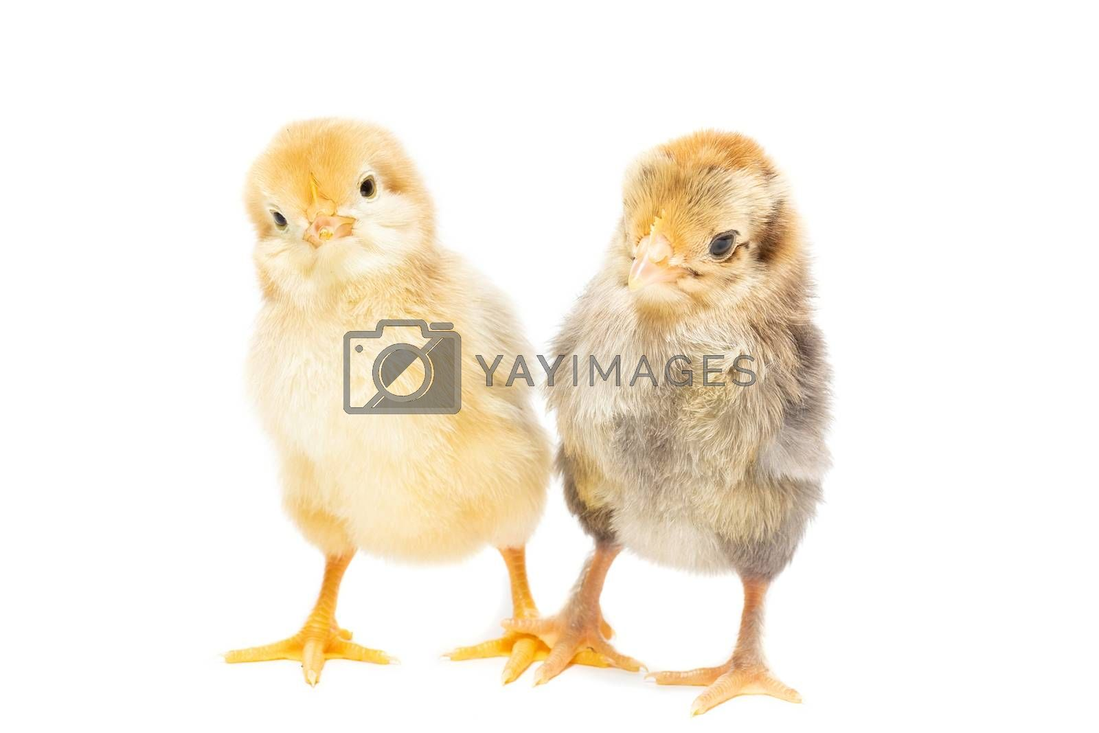 Two chickens on white background, isolation, village, summer