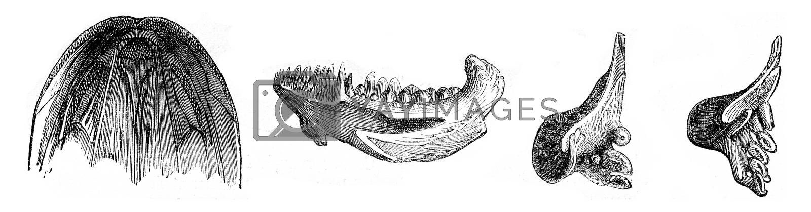 Fish teeth, vintage engraved illustration. Magasin Pittoresque (1882).
