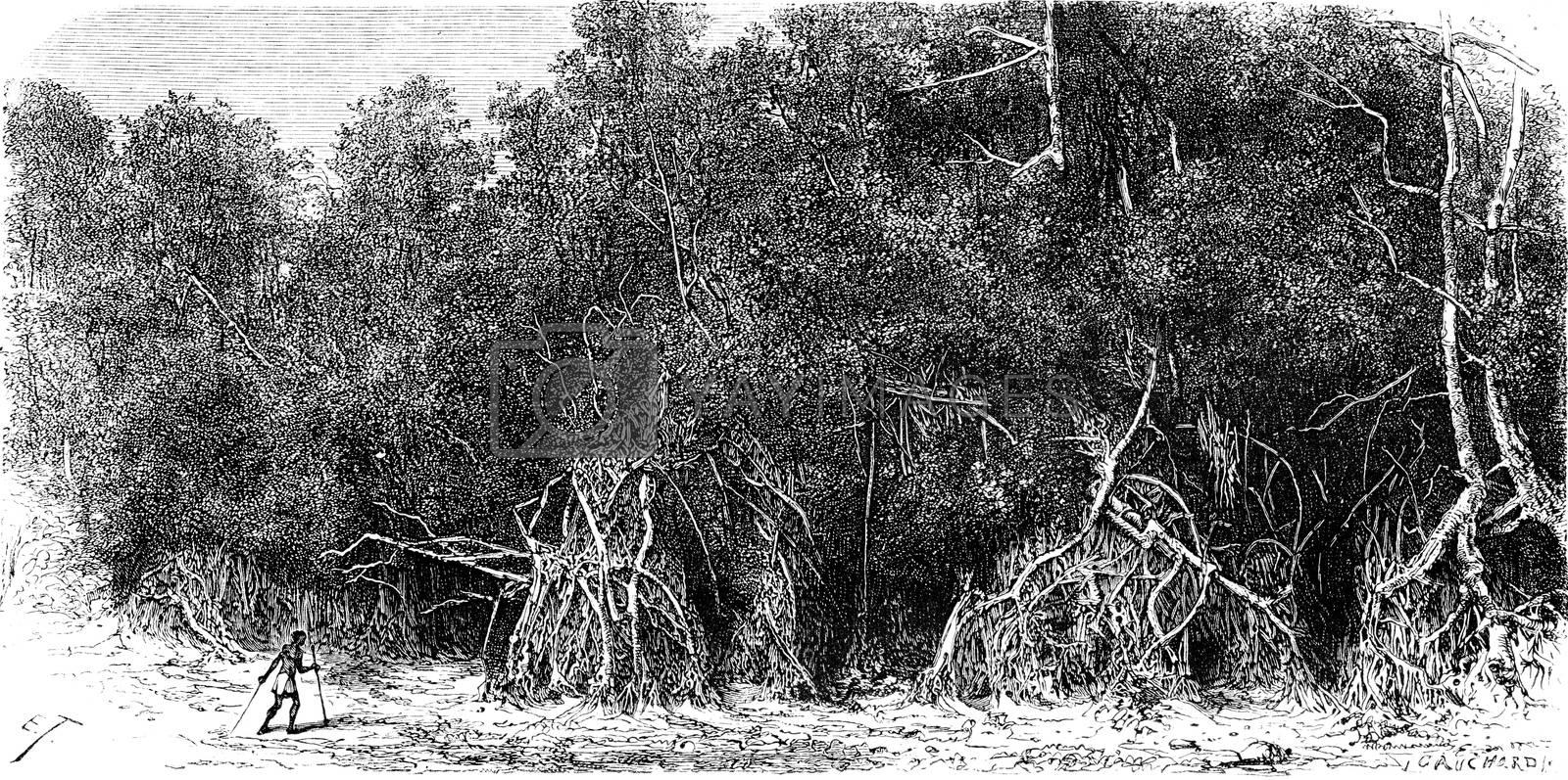 Mangroves equatorial rivers, vintage engraved illustration. Le Tour du Monde, Travel Journal, (1865).