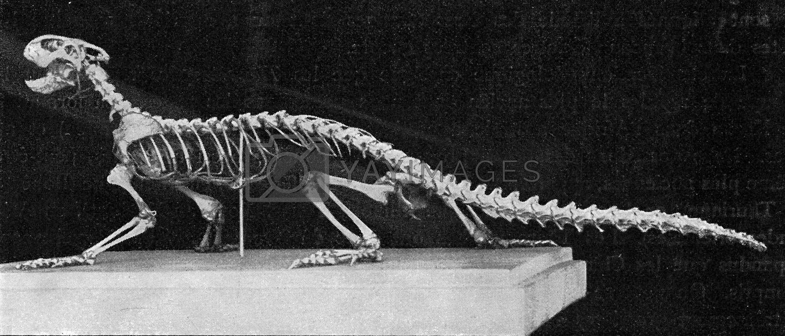 Skeleton of a modern lizard, vintage engraved illustration. From the Universe and Humanity, 1910.