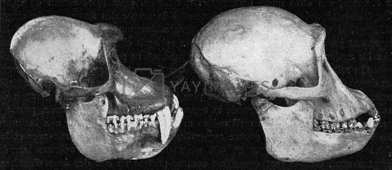 Skulls of papion and a chimpanzee, vintage engraved illustration. From the Universe and Humanity, 1910.