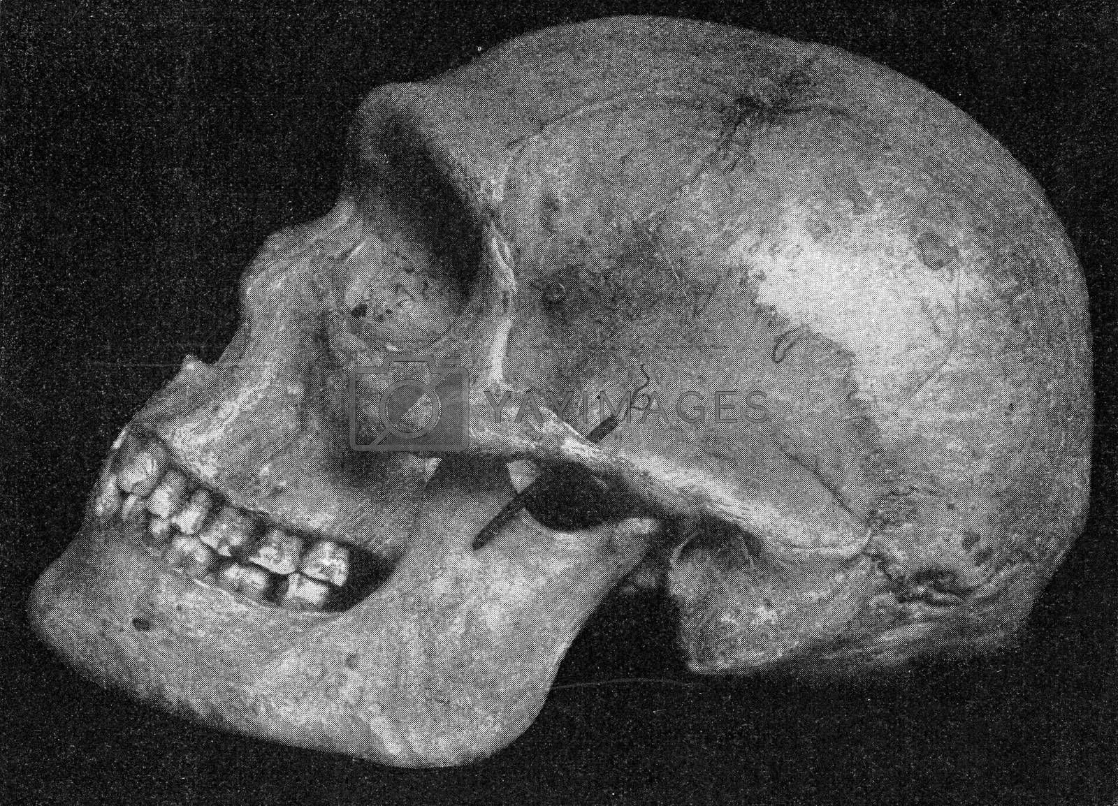 Side view of the same skull of a primitive Australian with very pronounced supraorbital bulges, vintage engraved illustration. From the Universe and Humanity, 1910.