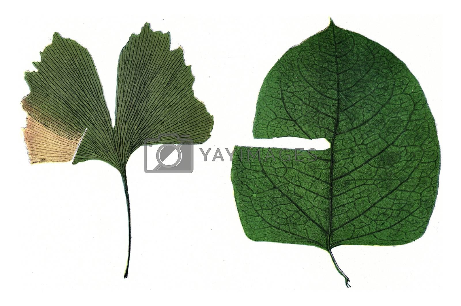 Leaves, with different veins, notched during growth, vintage engraving.