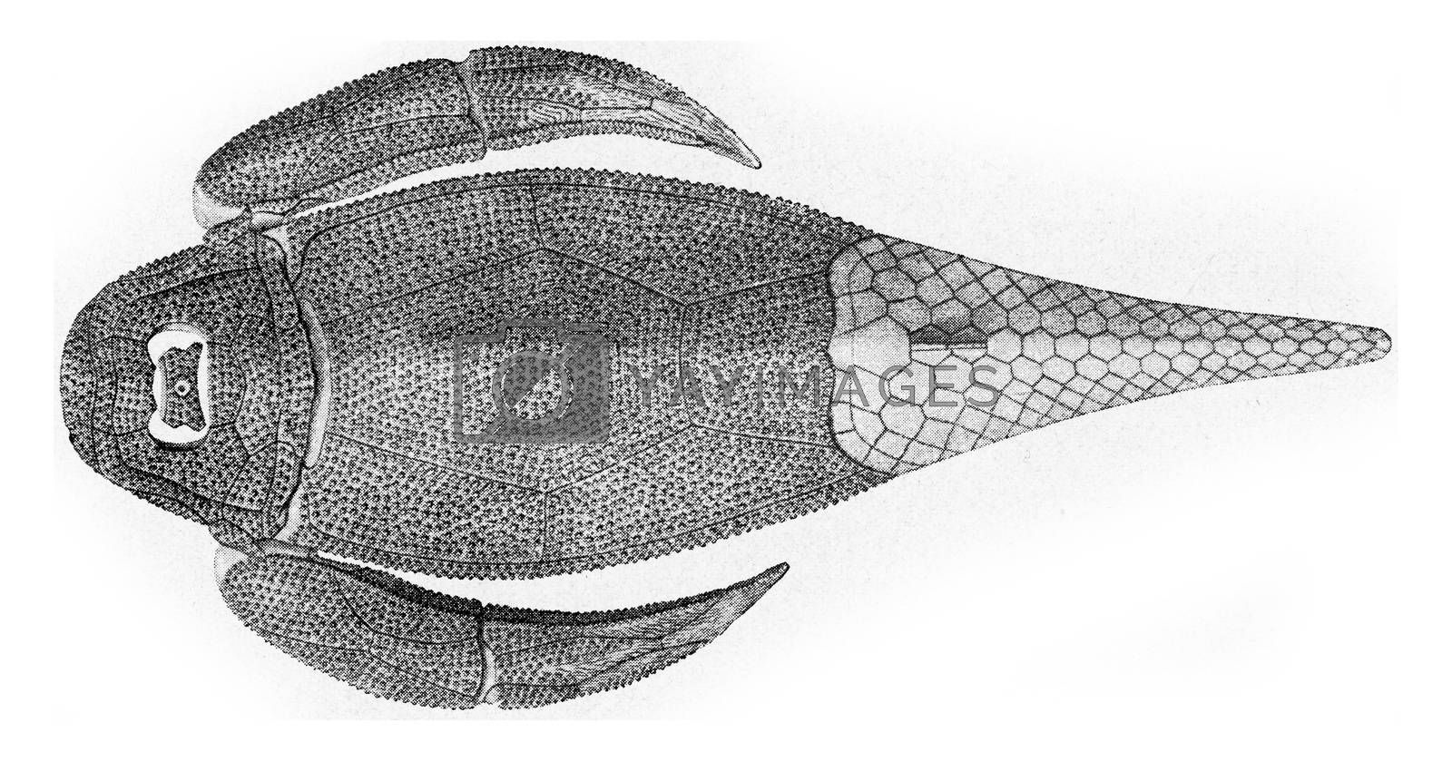 Reconstitution of a fish cuirass of the Devonian, vintage engraved illustration. From the Universe and Humanity, 1910.