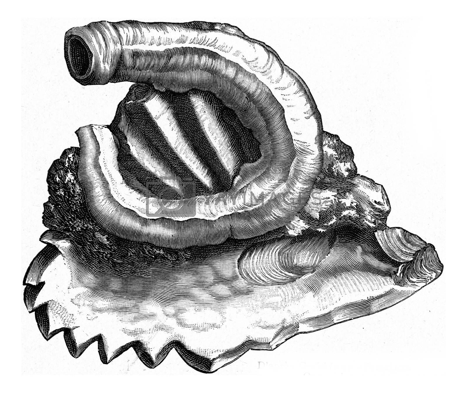 Serpule adhering to an oyster, vintage engraved illustration. From the Universe and Humanity, 1910.