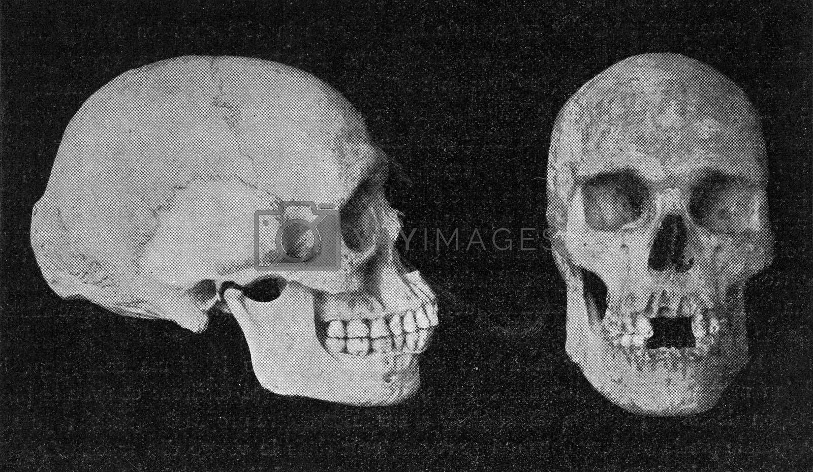 Skulls of elderly Australian men, vintage engraved illustration. From the Universe and Humanity, 1910.