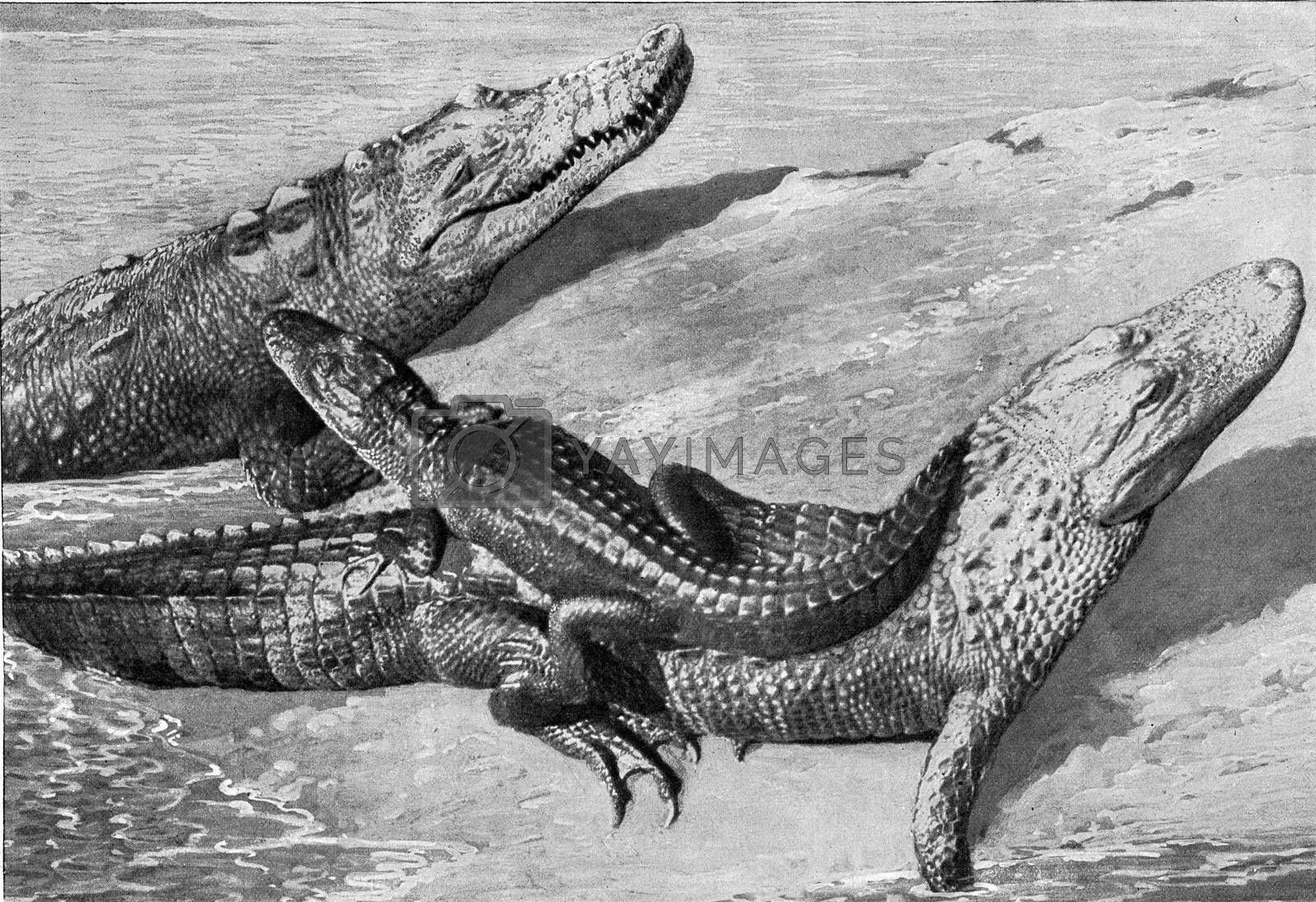 Group of alligators, vintage engraved illustration. From the Universe and Humanity, 1910.