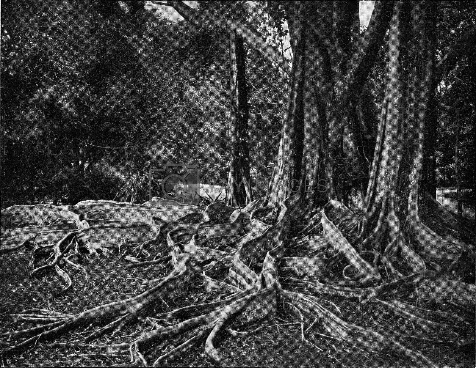 Visible roots of tropical trees, vintage engraving. by Morphart