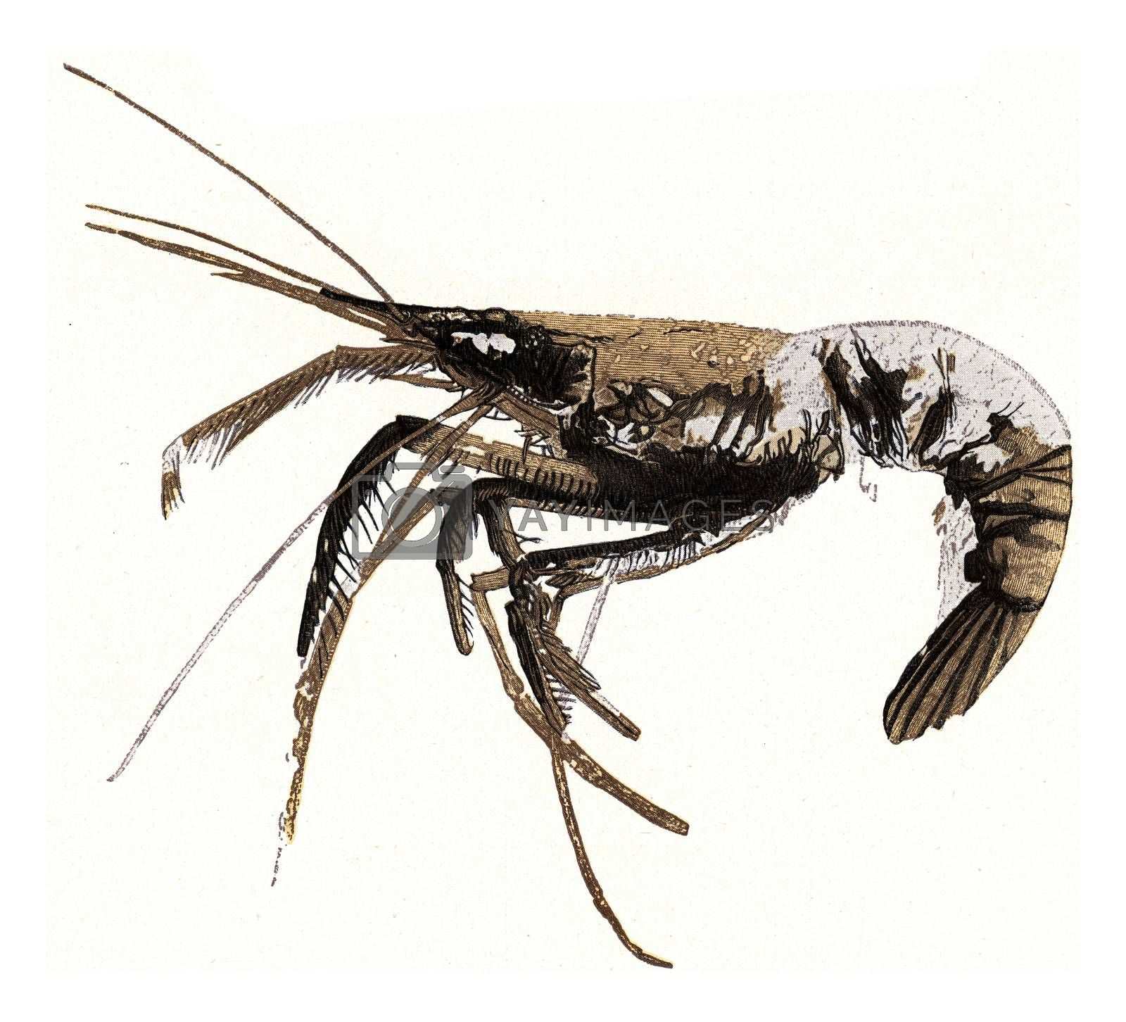 Royalty free image of Fossil crayfish, vintage engraving. by Morphart