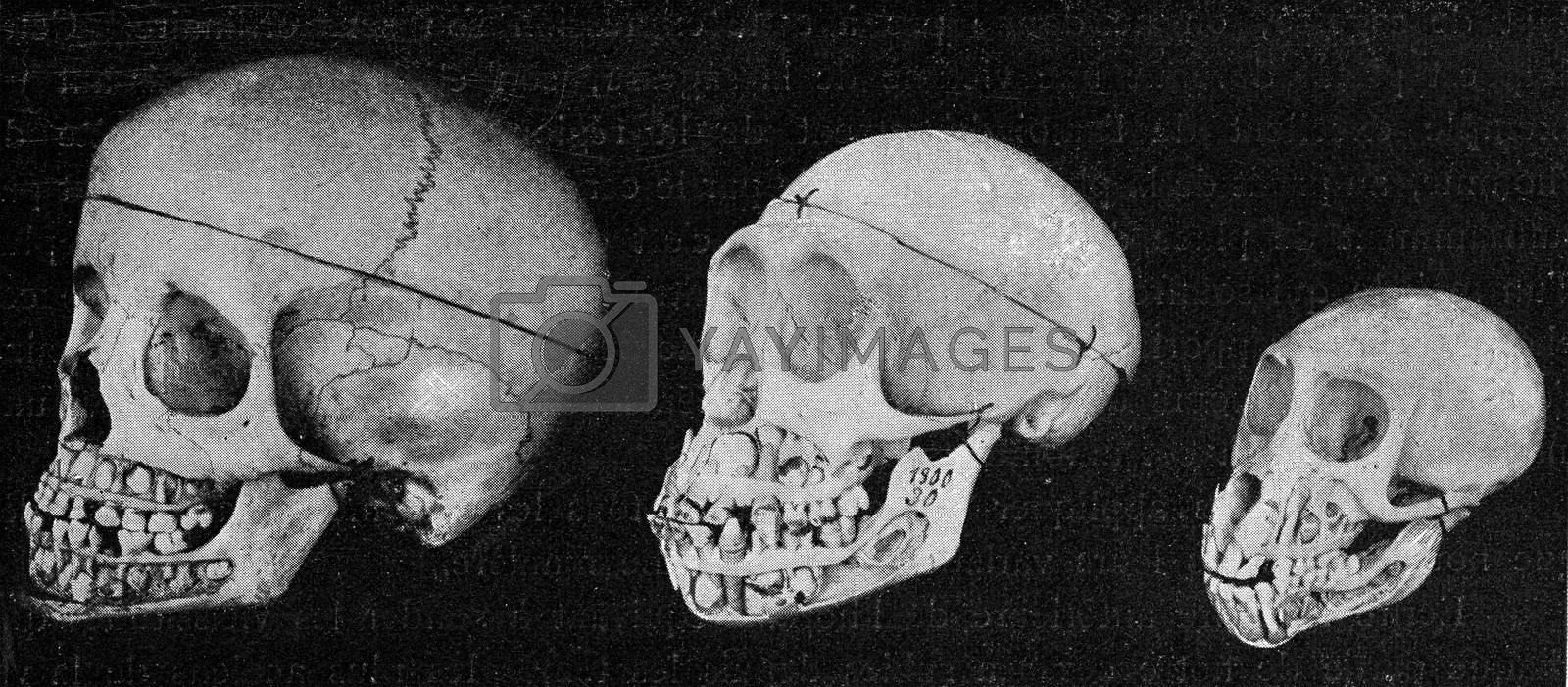 Skull of the man, the chimpanze and the Inuus, with the jaws cut by Morphart