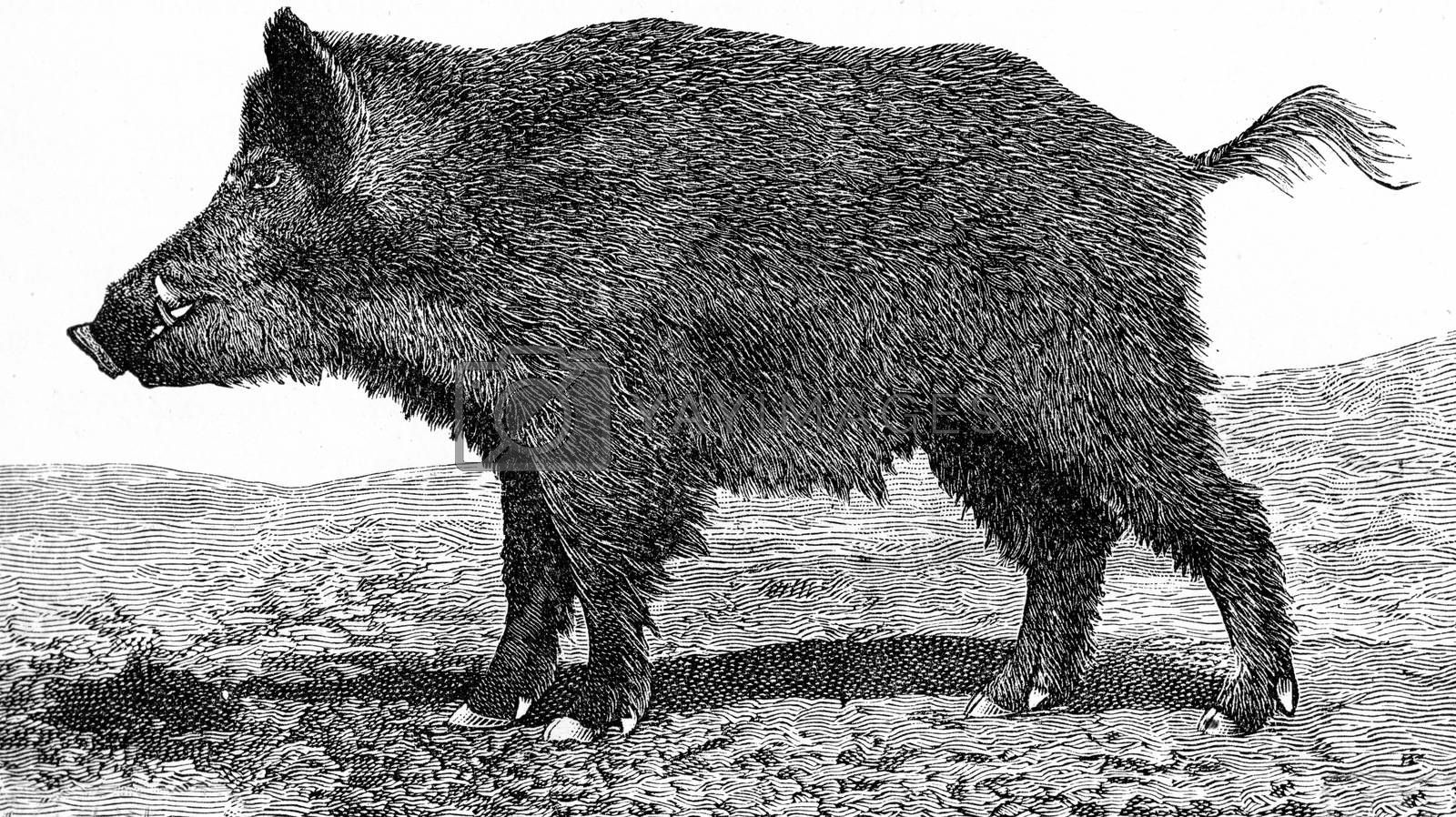 Royalty free image of The boar, Sus scrofa, vintage engraving. by Morphart