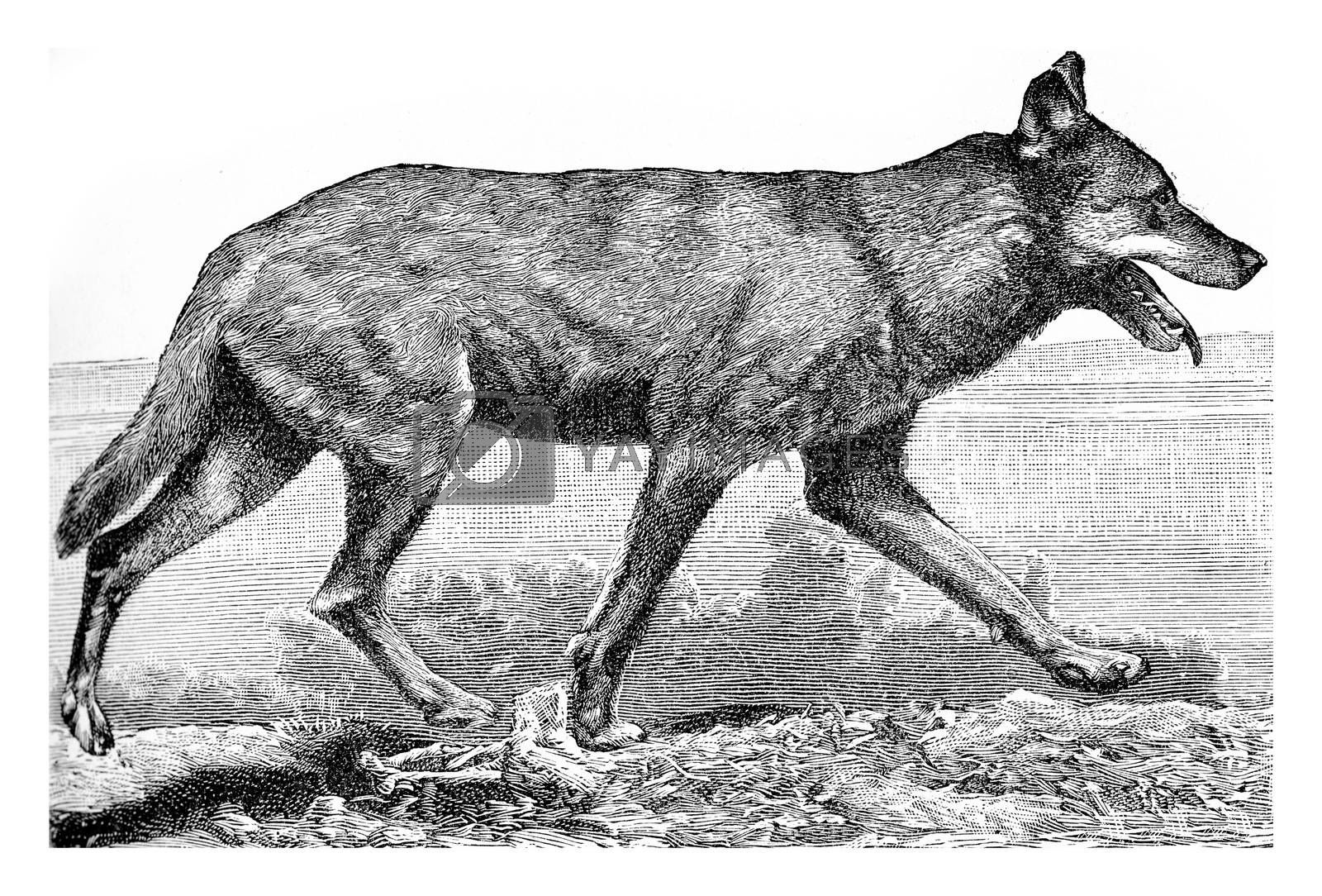 The wolf, vintage engraving. by Morphart