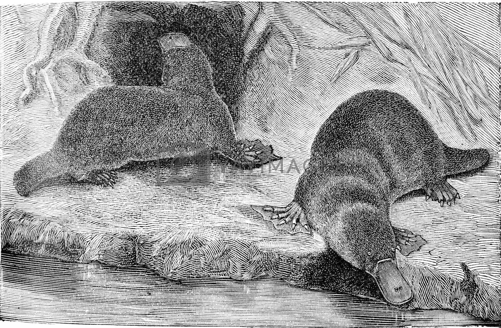 The platypus, vintage engraved illustration. From Deutch Vogel Teaching in Zoology.