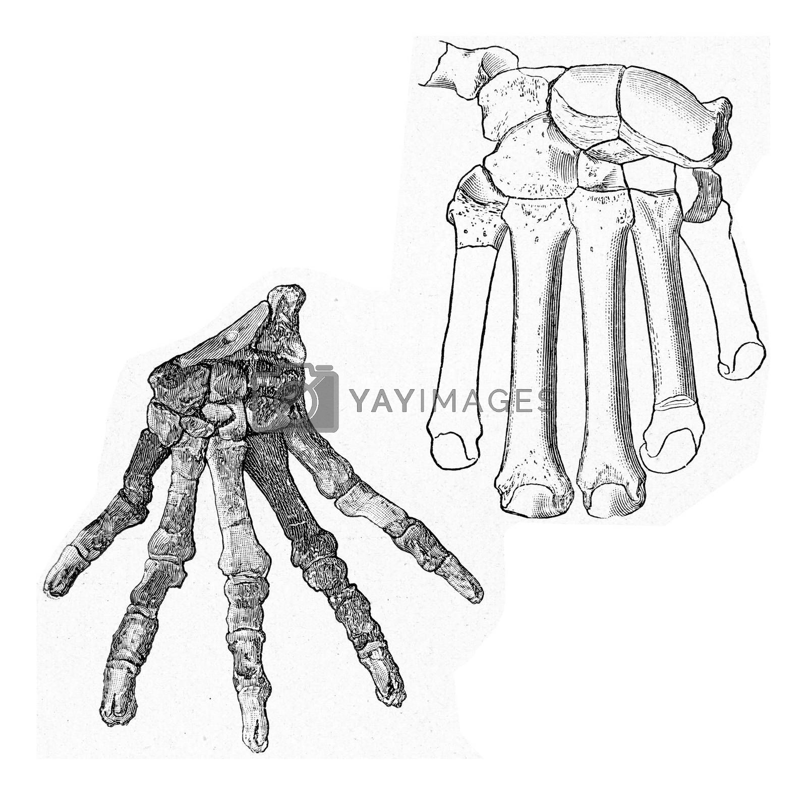 Skeletons of the hand of primitive carnivores of the tertiary era, vintage engraved illustration. From the Universe and Humanity, 1910.