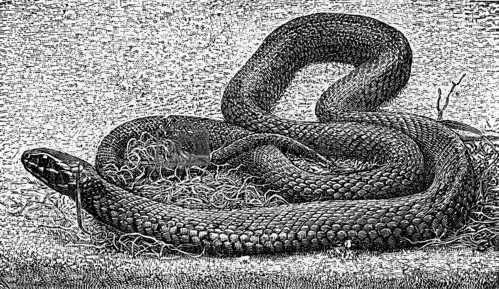 The grass snake, vintage engraved illustration. From Deutch Vogel Teaching in Zoology.
