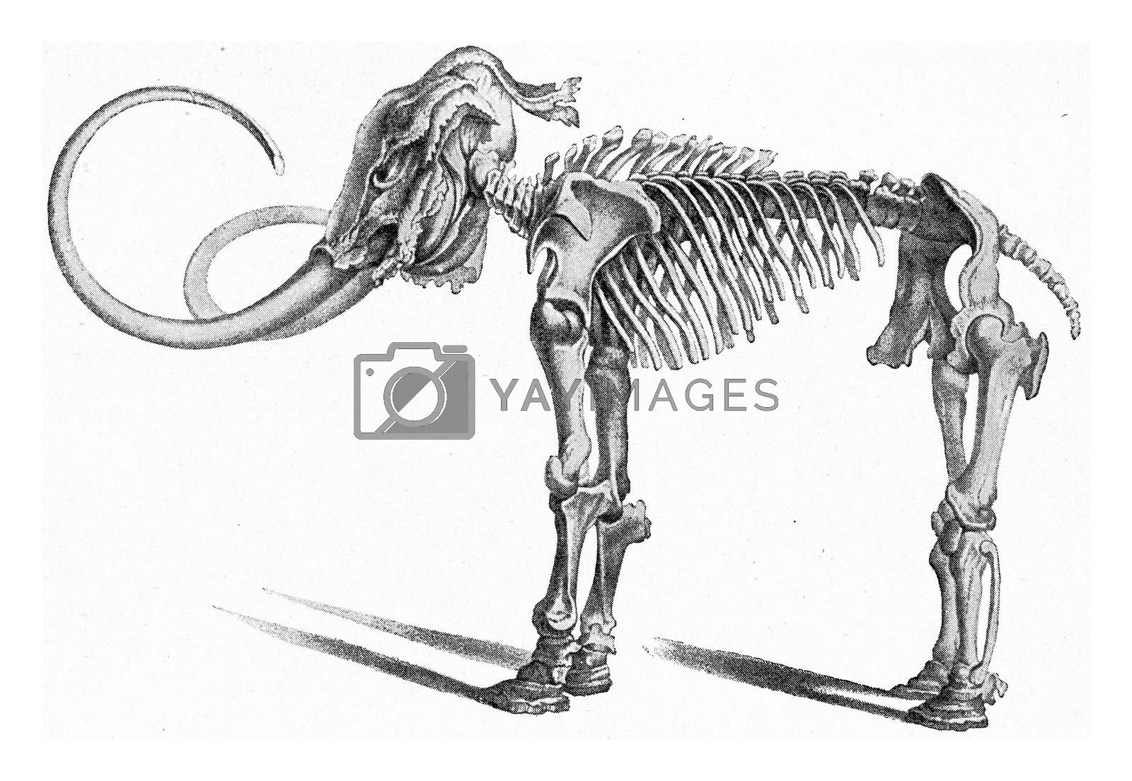 Skeleton of the first mammoth land in Siberia, vintage engraved illustration. From the Universe and Humanity, 1910.