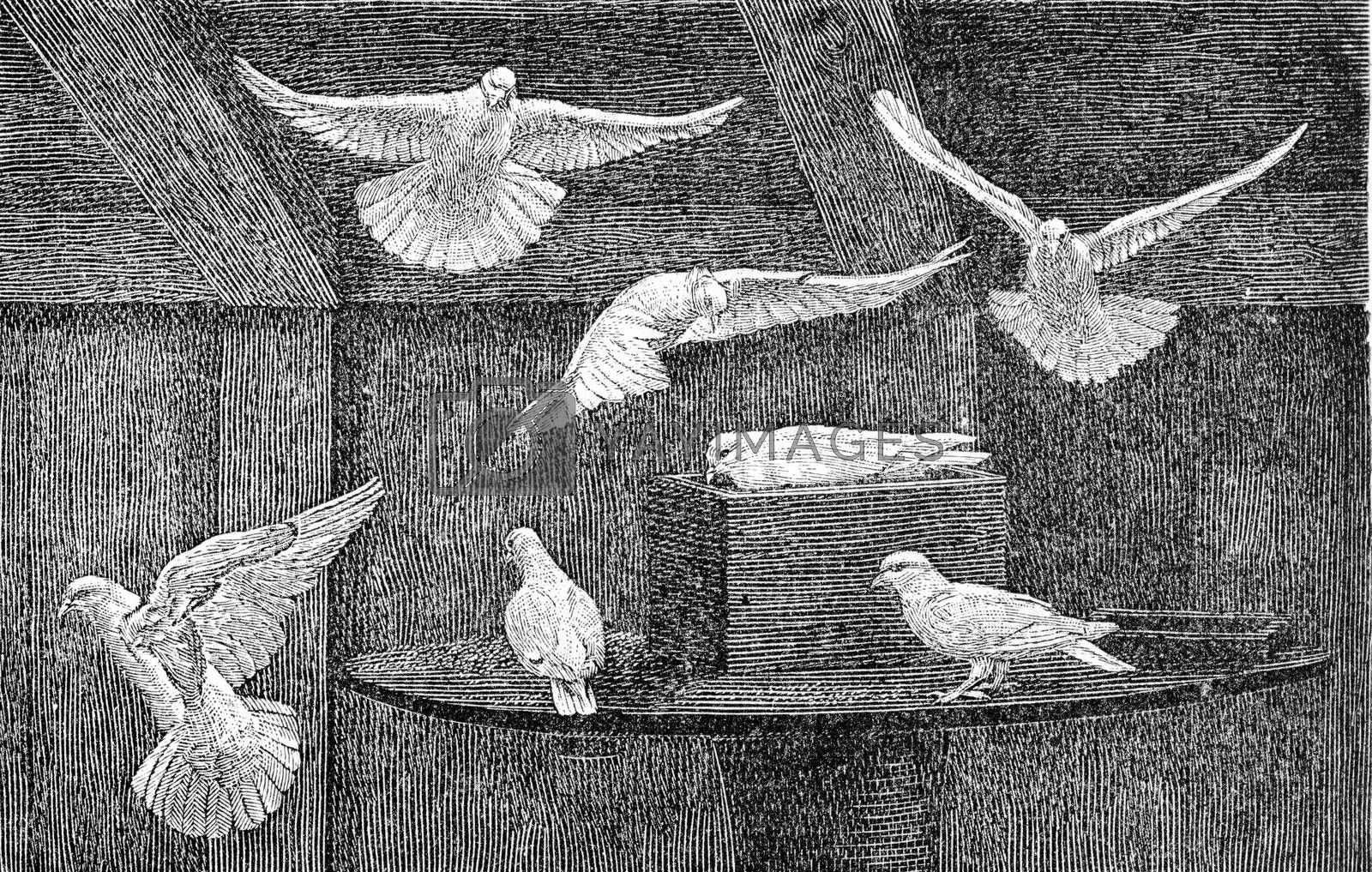 Domestic pigeons, vintage engraved illustration. From Deutch Vogel Teaching in Zoology.