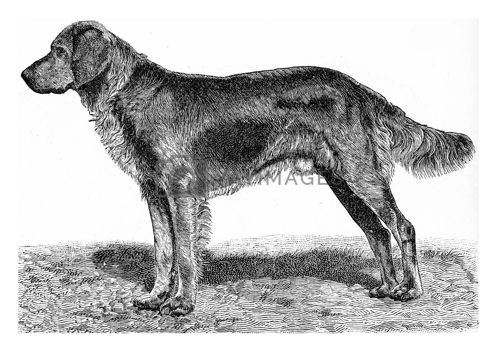 The dog, vintage engraved illustration. From Deutch Vogel Teaching in Zoology.