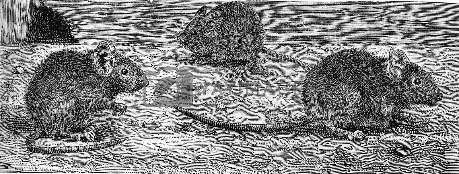 The house mouse, vintage engraved illustration. From Deutch Vogel Teaching in Zoology.