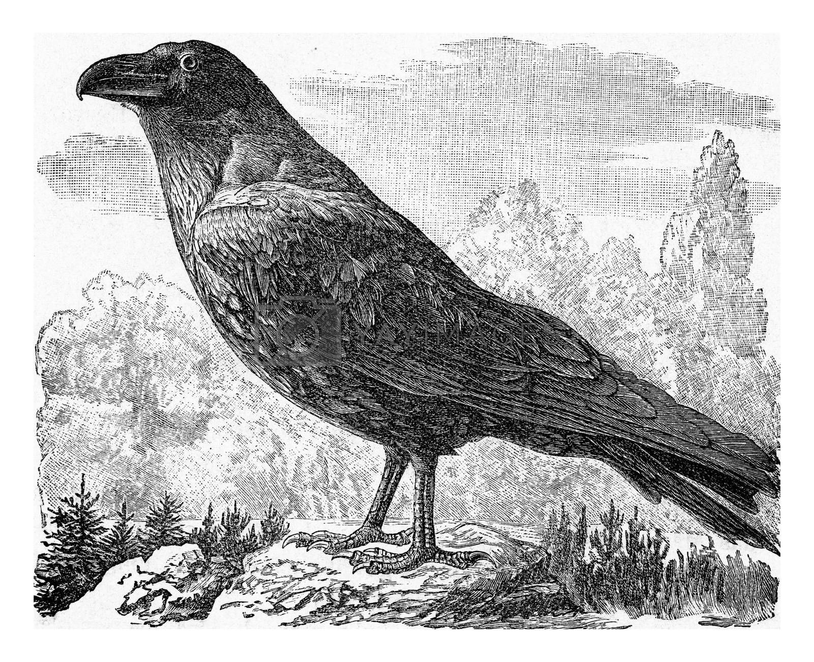 The raven, vintage engraved illustration. From Deutch Vogel Teaching in Zoology.
