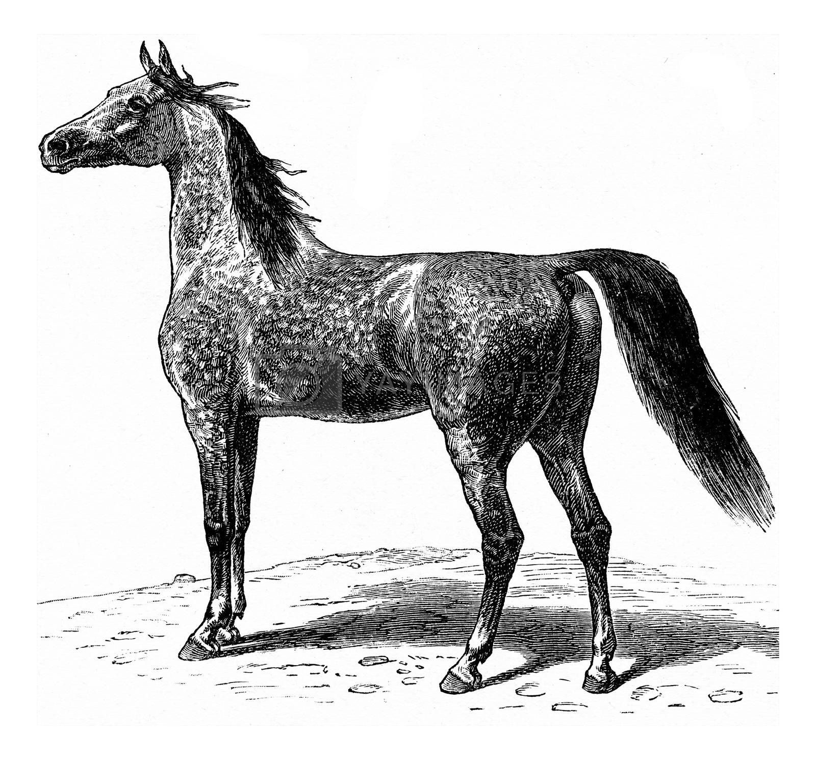 Horse, vintage engraved illustration. La Vie dans la nature, 1890.