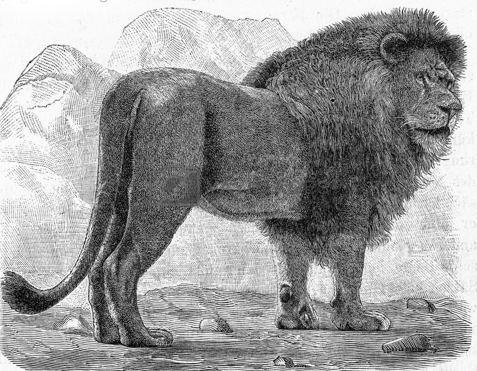 The lion, Felis leo, vintage engraved illustration. From Deutch Vogel Teaching in Zoology.