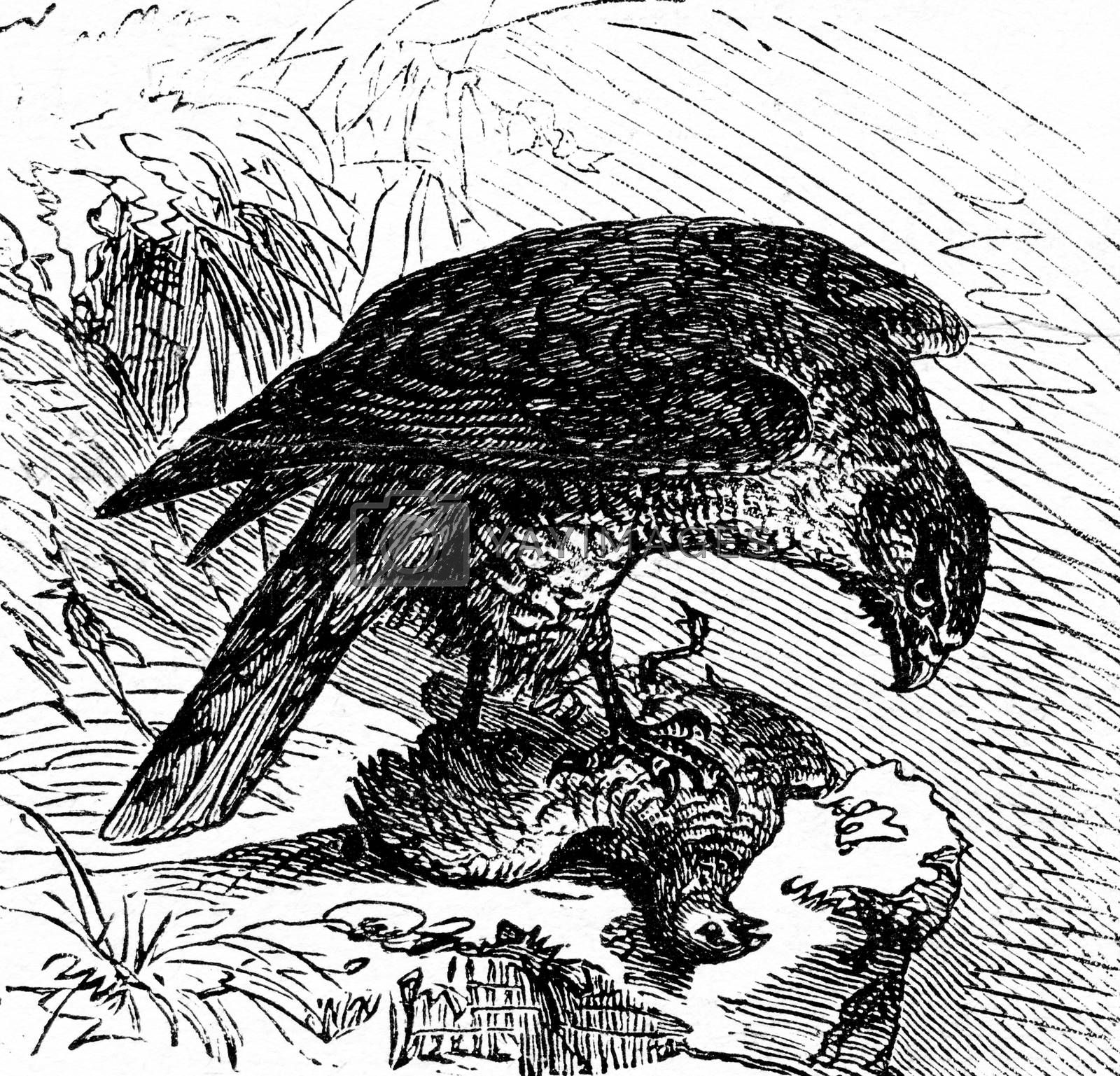 Goshawk, vintage engraved illustration. La Vie dans la nature, 1890.