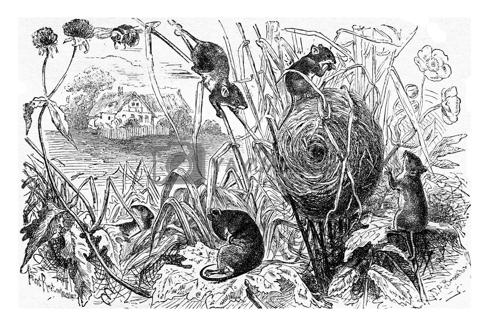 Dwarf mouse (Mus minutus) and its nest, vintage engraved illustration. La Vie dans la nature, 1890.