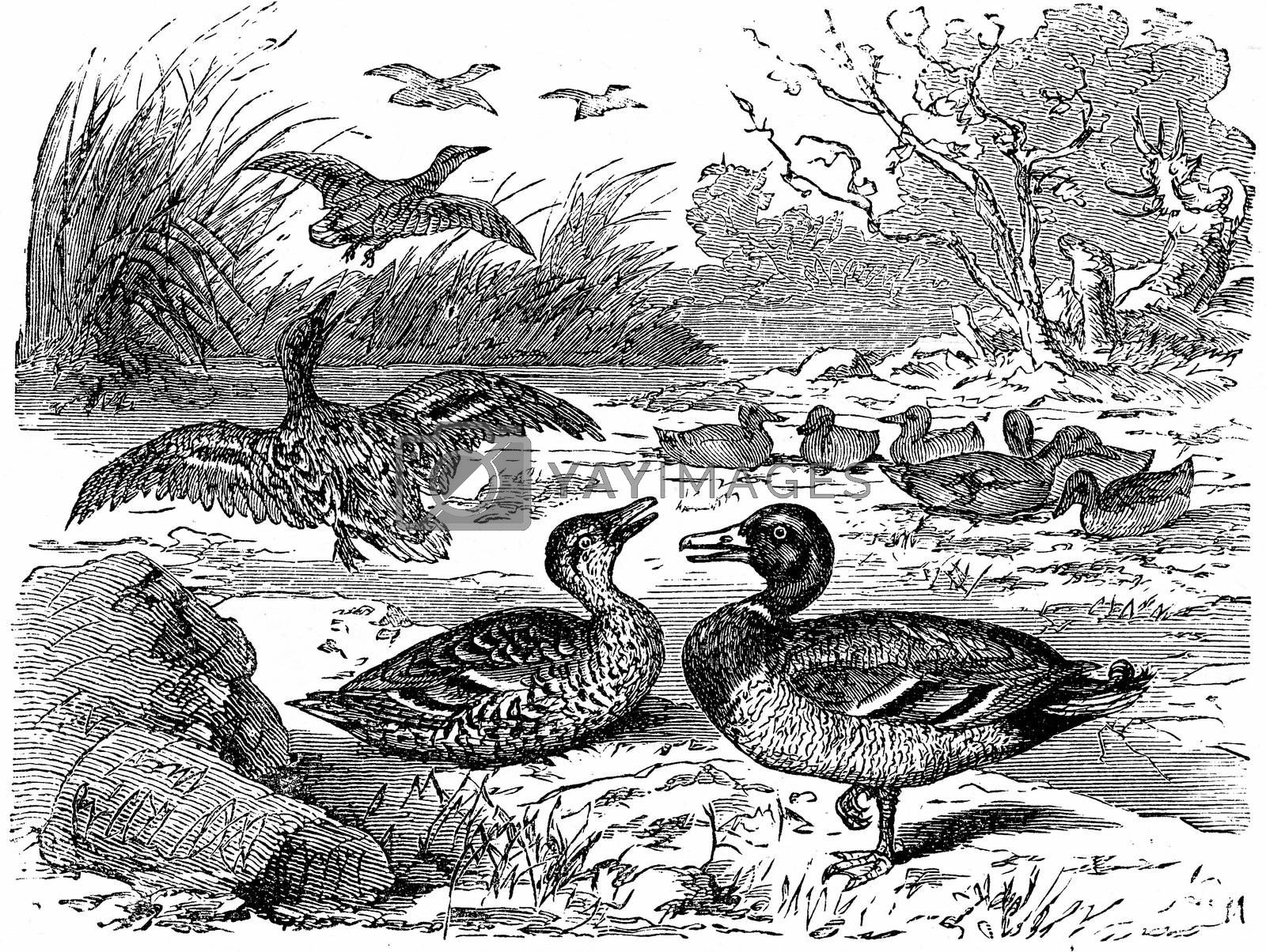 Wild ducks, vintage engraved illustration. From La Vie dans la nature, 1890.