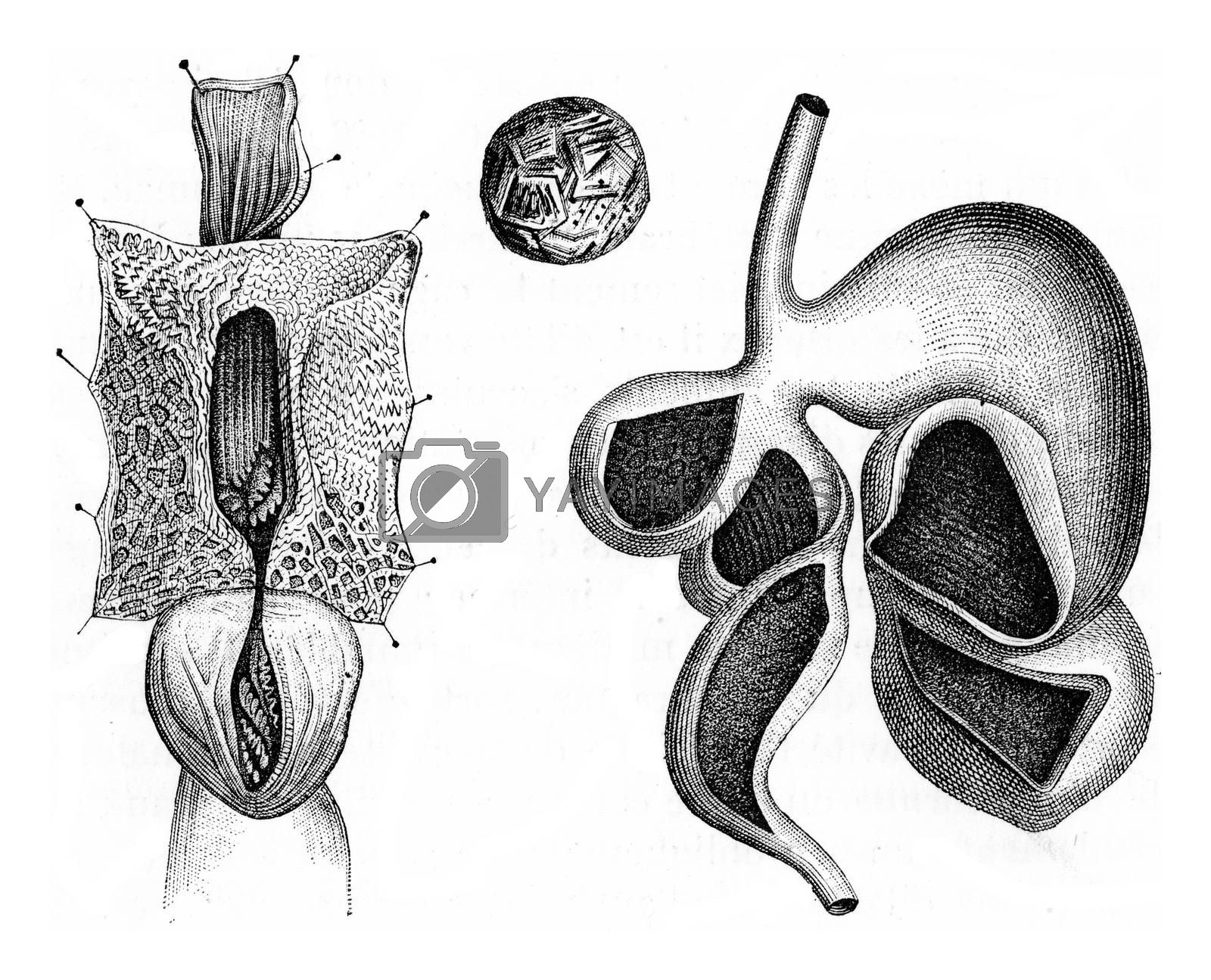 Stomach of ruminant, vintage engraved illustration. Zoology Elements from Paul Gervais.