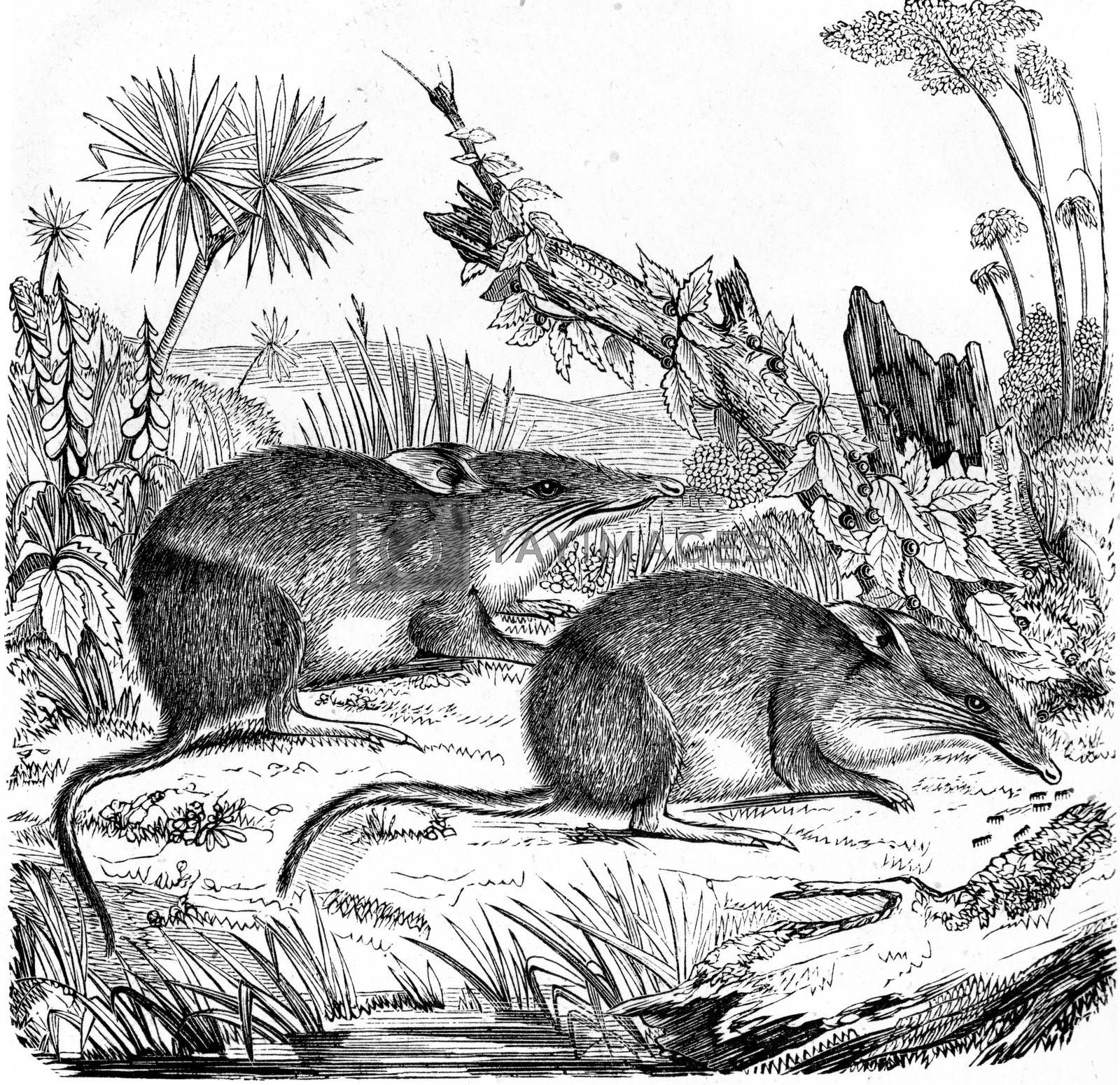 Greater bilby, vintage engraving. by Morphart