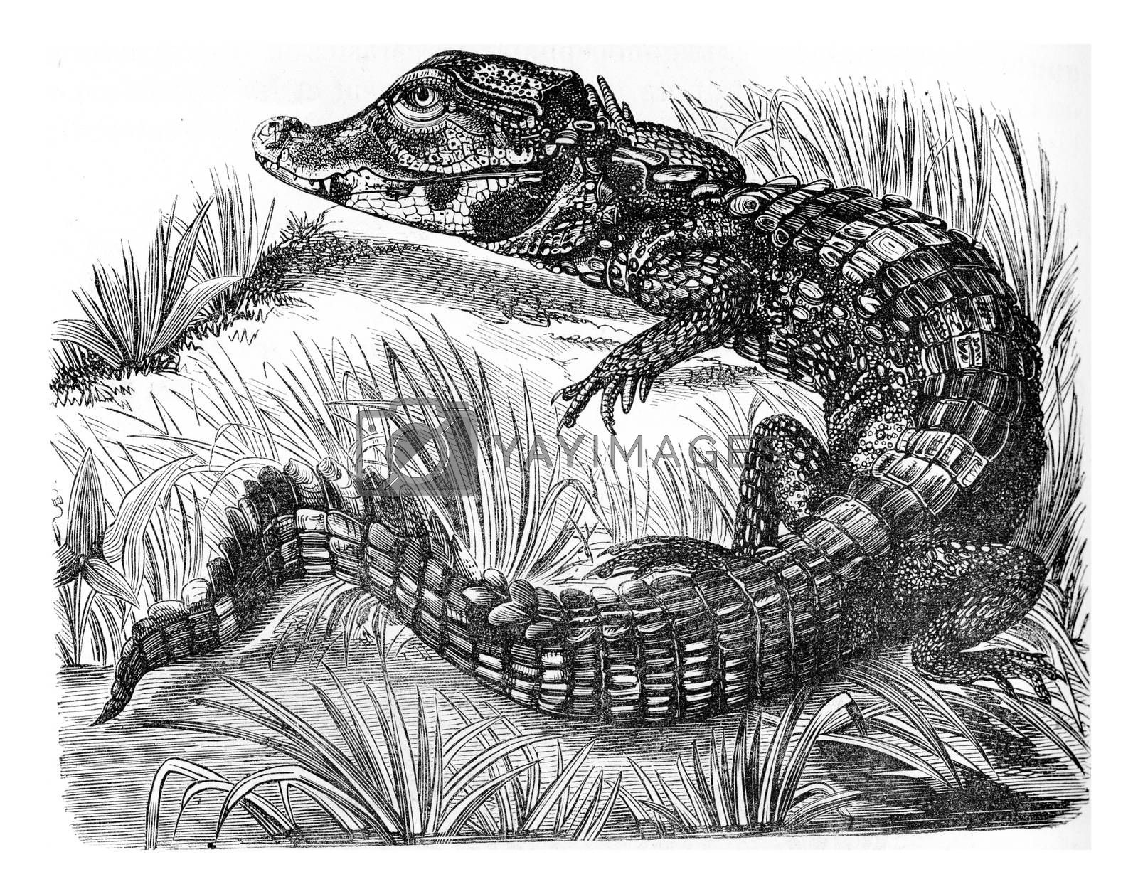 Caiman, vintage engraved illustration. Zoology Elements from Paul Gervais