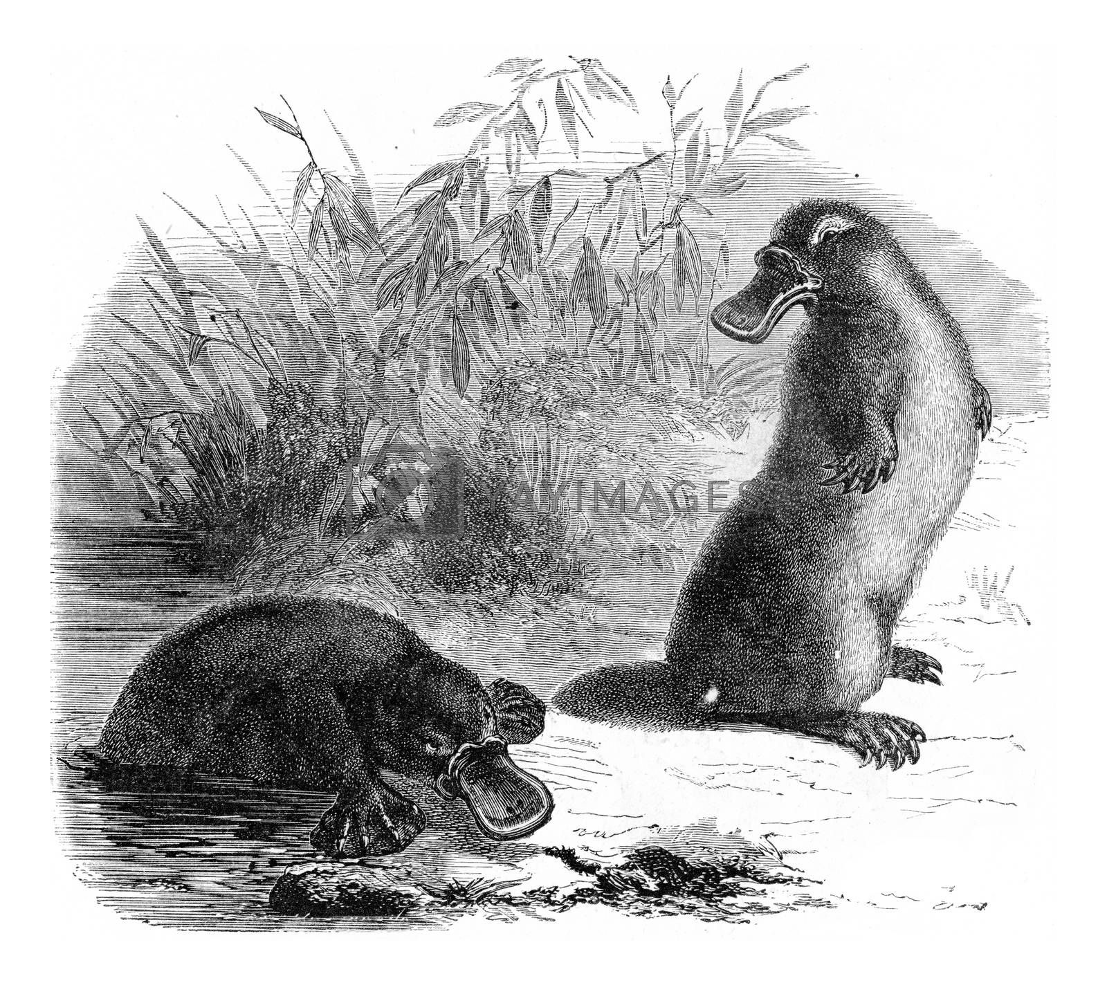 Platypus, vintage engraved illustration. From Zoology Elements from Paul Gervais.