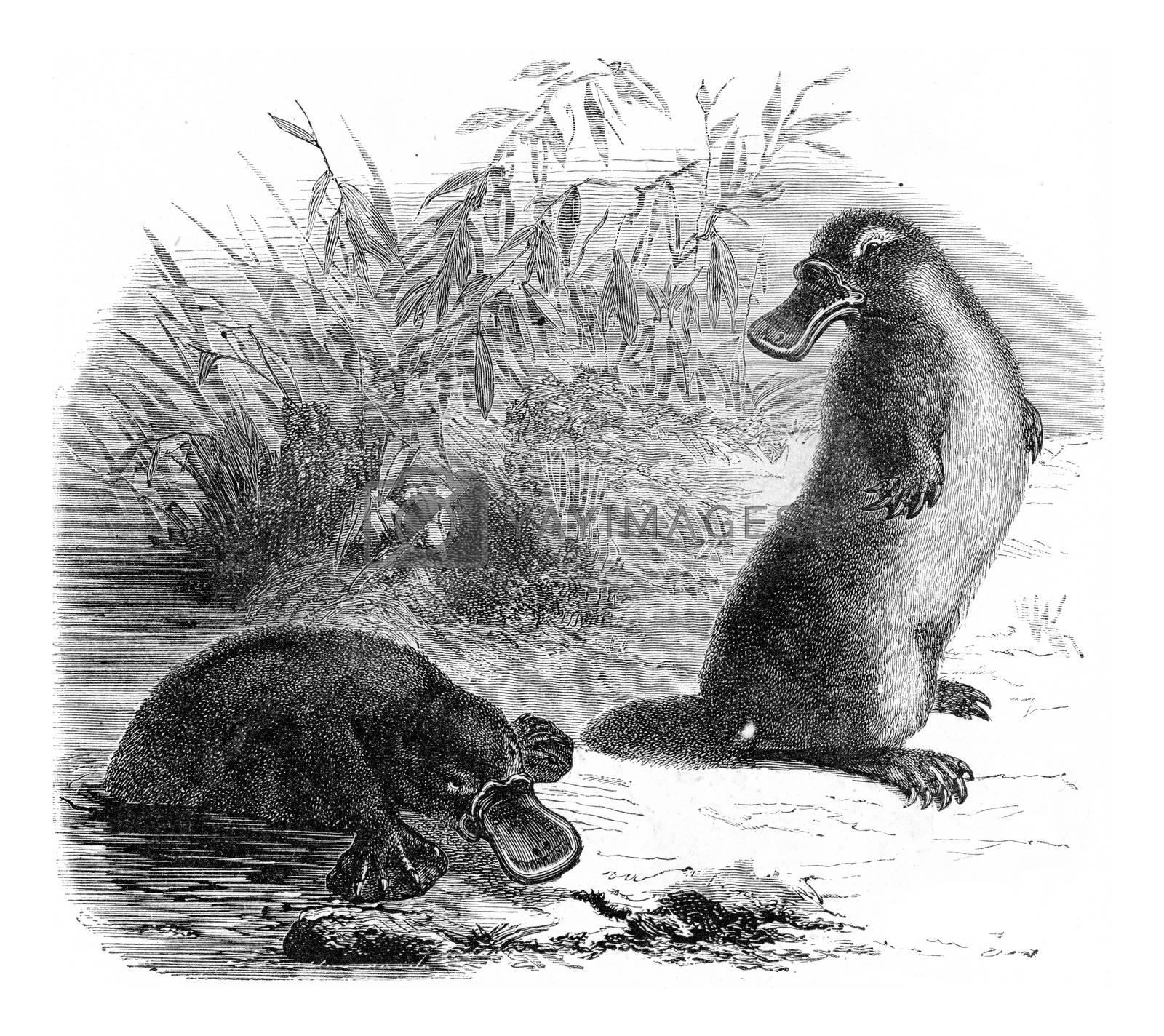 Platypus, vintage engraving. by Morphart