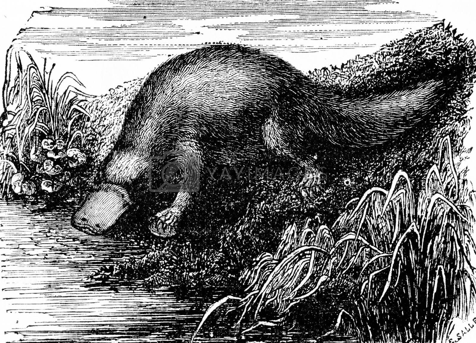 Platypus or Duck-billed platypus, vintage engraving. by Morphart